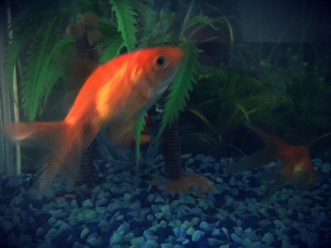 Talking to goldfish